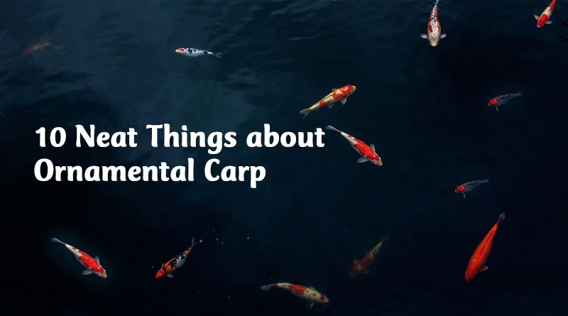 10 neat things about ornamental carp