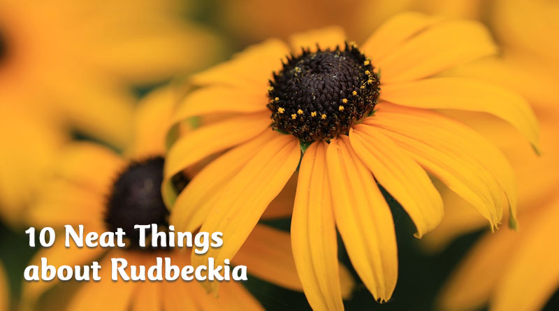 10 neat things about rudbeckia