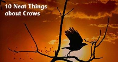 10 neat things crow