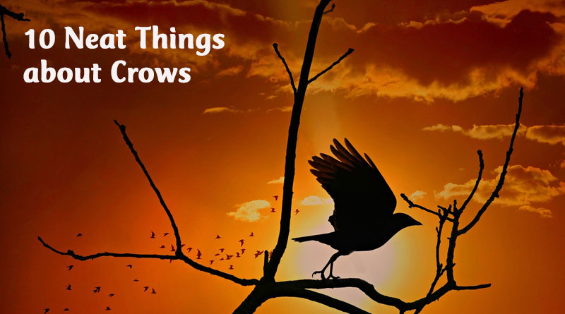 10 Neat Things: About Crows