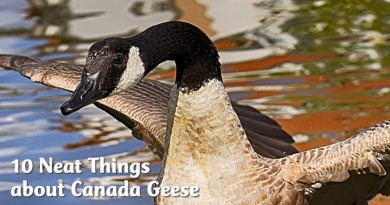 10 Neat Things about Canada Geese