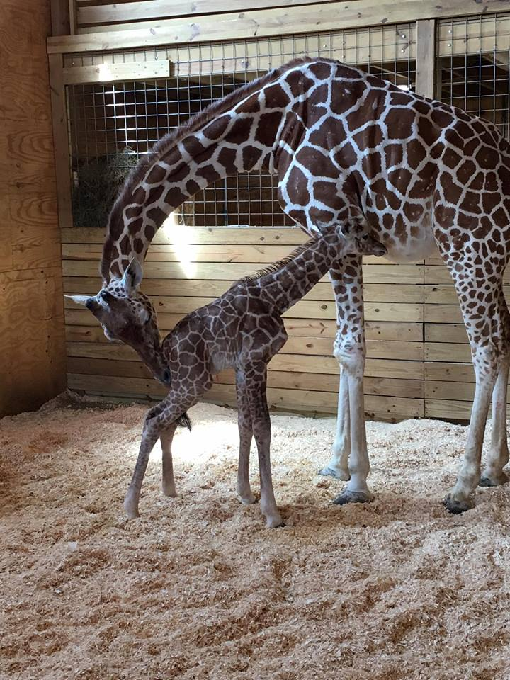 giraffes_1492278489088.jpg