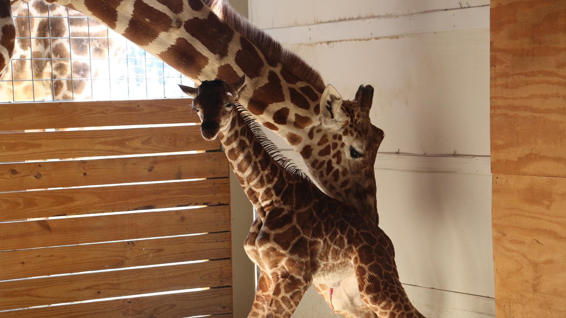 april giraffe and her calf_1492297688788-159532.jpg32603505