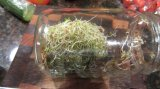 First try at alfalfa sprouts!