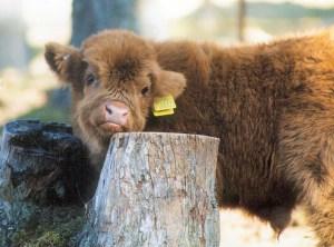 Highland Cattle on Balnafettach Farm