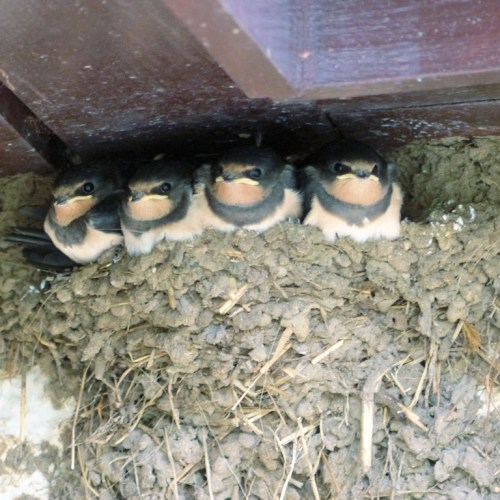 Swallows nesting on Balnafettach Farm