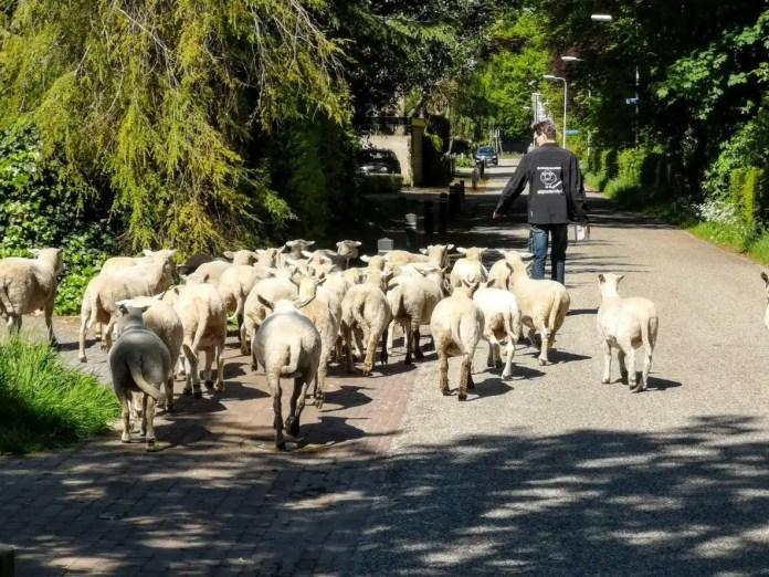 schapen in Eefde