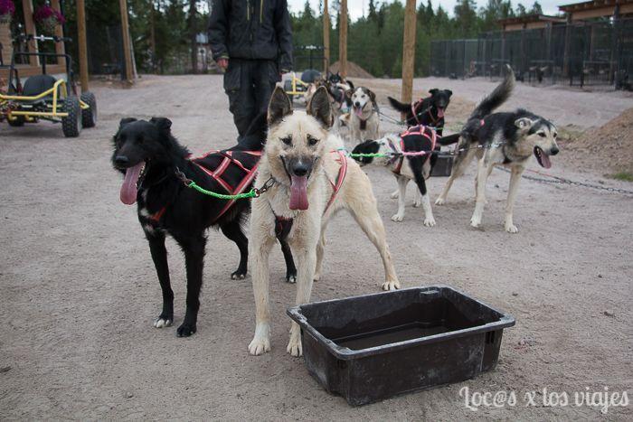 Perros de Bearhill Husky