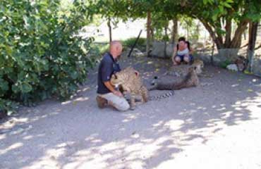 Cheetah encounter