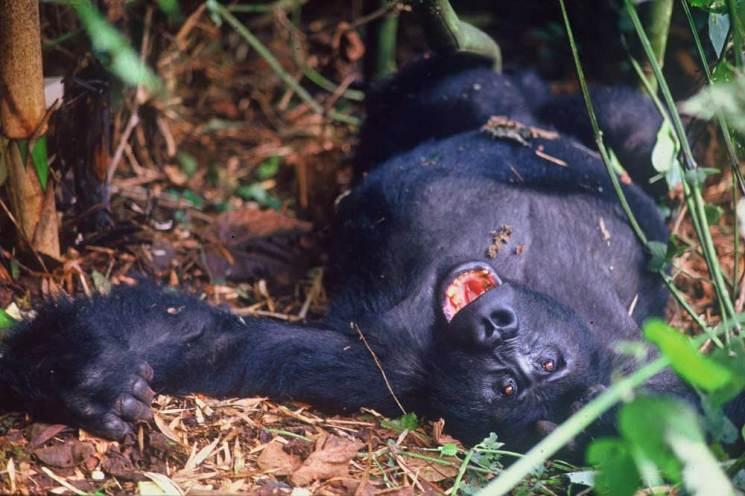 Gorilla relaxing