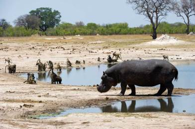 Hippo at Hwange National Park.gallery_image.3