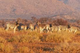 Herd of Zebras in the Kruger park
