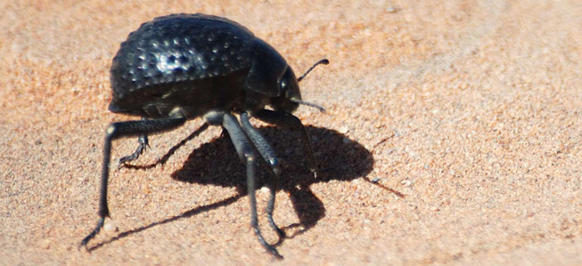 https://i2.wp.com/www.loe.org/content/2012-11-16/beetle.jpg