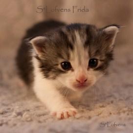 S*Lofvens Frida, 3 weeks, Female, NFO ns 03 22