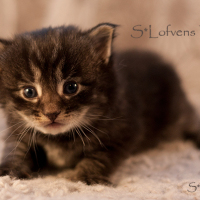 S*Lofvens Feykir 3 weeks, male, NFO n(s)23