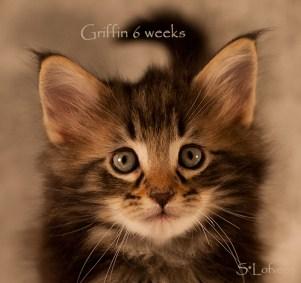 Griffin, 6 weeks, male, NFO n 09 22