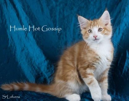Humle Hot Gossip, 13 weeks