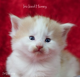 Iriz Iced Honey, 4 weeks, NFO d 03 22, female