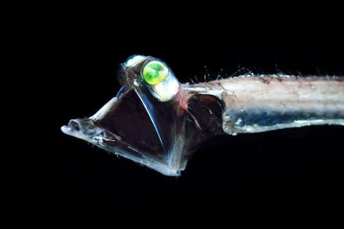 [Science] Some deep-sea fish have evolved souped-up colour night vision – AI