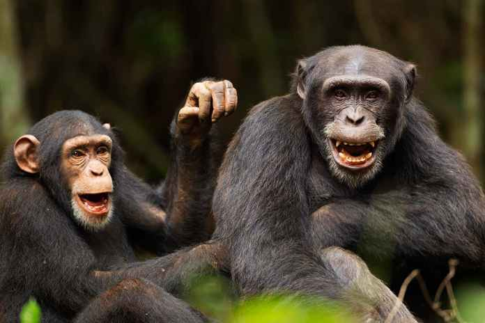 [Science] Chimps bond with each other and people after watching a film together – AI