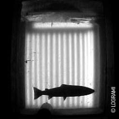 Passage d'un saumon à Châtellerault le 4 janvier 2016