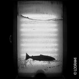Passage d'un saumon à Descartes le 5 janvier 2016