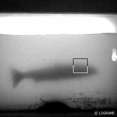 Saumon atlantique de 93 cm à Decize le 24/03/2017