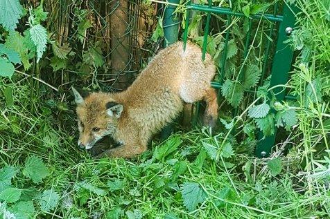 Der Fuchs war im Zaun gefangen. Die Polizei konnte ihn befreien. Foto: Polizei