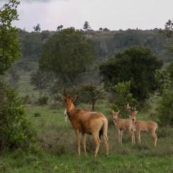Lelwel hartebeest Alcelaphus buselaphus lelwel in South Valley of Lolldaiga Hills Ranch.