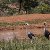 Crowned cranes (Balearica regulorum). North Lolldaiga Hills Ranch