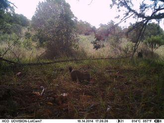Slender mongoose (Herpestes sanguineus)