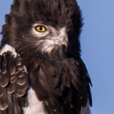 Black-chested snake eagle (Circaetus pectoralis)