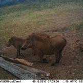cam1-warthog