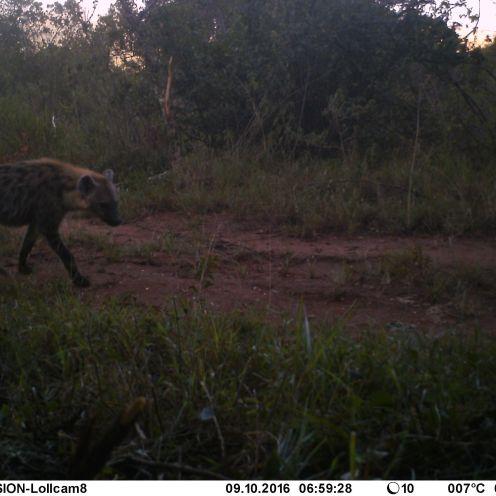 Spotted hyaena Crocuta crocuta