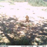 Striped ground squirrel (Xerus erythropus)