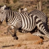 Common zebra (Equus quagga)