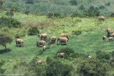 Savanna elephant (Loxodonta africana).
