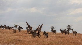 Plains zebra & reticulated giraffe
