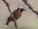 Grey-capped social weaver (Pseudonigrita arnaudi)
