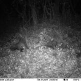 North African crested porcupine (Hystrix cristata)
