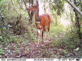 IMAG0035 - Adult female bushbuck