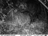IMAG0050 - Adult male buffalo