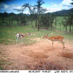 Impala (Aepyceros melampus) & Bright's gazelle (Nanger notate)