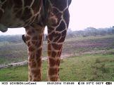 Yellow-billed oxpecker on Giraffe (Giraffa camelopardalis)