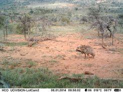 IMAG0386 - Striped hyena