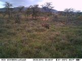 IMAG3112 - Adult male common warthog