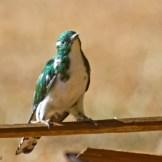 Klaas's Cuckoo (Chrysococcyx klaas)