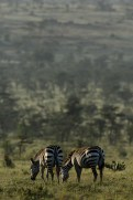 Plains zebra (Equus quagga) by Matthew Simpson