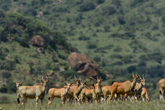 Common eland (Tragelaphus oryx) by Matthew Simpson