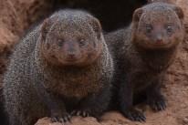 Dwarf mongoose (Helogale parvula) by Matthew Simpson